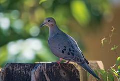 On The Fence (ACEZandEIGHTZ) Tags: dove fence bokeh nikon d3200 zenaida macroura closeup birdwatcher backyard mourning avian coth alittlebeauty coth5 sunrays5