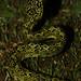 Black-speckled Palm-Pitviper, Bothriechis nigroviridis Ascanio_Costa Rica 199A5061
