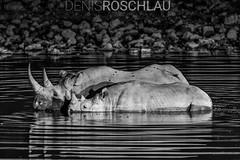 Black Rhino Nightswimming... (Denis Roschlau Photography) Tags: africa afrika bildinhalt dicerosbicornis etoshanationalpark horn namibia nashörner natur oddtoedungulate okaukuejo perissodactyla reflektionen republicofnamibia republiknamibia rhinocerotidae rhinozeros rhinozerosse schwarzesnashorn spitzmaulnashorn säugetiere umgebung unpaarhufer wasser wasserloch waterhole abends african afrikanisch animals blackrhinoceros camp etosha evening halbwüchsig hooklippedrhinoceros horns hörner jung jungtier mammal mammals nationalpark nature reflections restcamp rhinoceros sideon sideseitlich sideview southernafrica standing stehend subadult säugetier südlichesafrika tier ungulate vonderseite water wildanimals wildetiere wildestier wildlife wildtier young