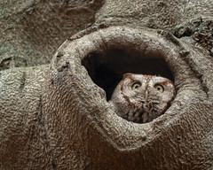 BeechNut (jmishefske) Tags: 2018 november nikon owl tree woods d500 beech stfrancis seminary eastern milwaukee screech wisconsin