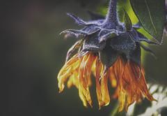 Amaurosis (Vanessa wuz Here) Tags: 90mm macro macroflowers muttartconservatory autumn allthecolours bokeh sunflower wilted edmonton yellow green flora flowers copyrightvanessabartosek everyimagetellsastory