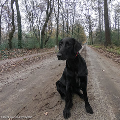 GOPR3046_20181127_112651 (KJvO) Tags: achterhoek dog flatcoatedretriever hond pipa questionsflightoneinamillion winterswijk animal blackdogsrule dier dogadventures flatcoataddiction flatcoatedlovers flatcoatedretrieversofinstagram flattiemoments flattieoftheday freestyleretrievers instadogs retrieversofinsta