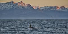 Norvege Novembre 2018 (Bruno Berthet) Tags: norvege norway sea mer nature ocean neige montagne mountains whales wildlife baleines orca orques winter hiver snow animal skjervoy nikon nikonfrance d750
