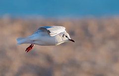 Dungeness 03.02.19 flying B H Gull
