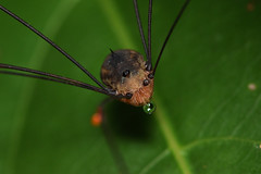 Daddy Long Legs (Craig Tuggy) Tags: daddy long legs thailand insect macro nature