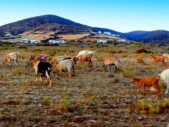 Goats are at Grass (dimaruss34) Tags: newyork brooklyn dmitriyfomenko image sky clouds greece antiparos goats grass buildings mountains field flowers