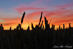 Fields of Gold (leanne.hilless) Tags: sunset field wheat wheatfields countryside nature naturephotography