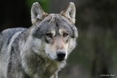 Loup européen (Passion Animaux & Photos) Tags: loup europeen european wolf parc animalier saintecroix france