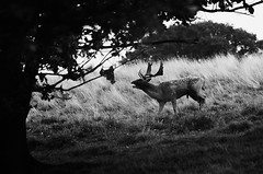 Rutting Buck (andy_AHG) Tags: wildlife autumn stag fallowdeerbuck antlers ruttingseason animals nikond300s yorkshire