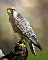 Falco llaner / Lanner falcon (SBA73) Tags: cimdàligues predator birdofprey bird vogel ocell au pájaro trainer falcó falcon halcón falcobiarmicus falcóllaner lannerfalcon malarstripe beautiful animal