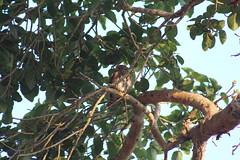 Pearl Spotted Owl (Rckr88) Tags: pearl spotted owl pearlspottedowl owls birds bird trees tree leaf leafs leave leaves krugernationalpark southafrica kruger national park south africa nature outdoors wilderness wildlife