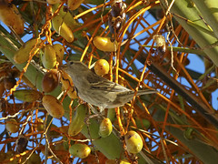 Passer hispaniolensis / Passera spagnola / Spanish sparrow (Alvaro Colombo) Tags: coth fantasticnature nationalgeographicwildlife potofgold ngc coth5