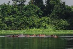 IPPOPOTAMI    ----    HIPPOS (Ezio Donati is ) Tags: animali animals natura nature acqua water fiume river foresta forest westafrica costadavorio bandamariver areataimboiten