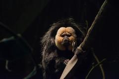 White-faced Saki (Rackelh) Tags: monkey saki primate black animal mammal face zoo toronto ontario canada