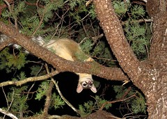 Ringtail-Madera Canyon (1) (gskipperii) Tags: arizona southeasternarizona wildlife animal nature outdoors ringtail raccoonfamily nocturnal climbing hunting inverted upsidedown tree maderacanyon mammal