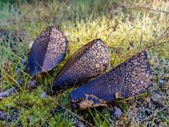 Pisolithus arhizus (arapaci67) Tags: naturaleza naturephotography hongos fungi setas jaen andalucia spain movilgrafia otoño sierramorena vvadelareina samsunga8