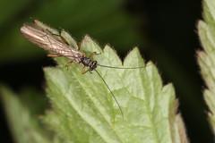 Insecte de l'ordre des Plecoptera (chug14) Tags: macro insect nature stoneflies animalia arthropoda hexapoda insecta plecoptera