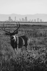 Deer - Rocky Mountain Arsenal - Denver, Colorado (BeerAndLoathing) Tags: 2018 autumn usa denver buck sunset blackwhite canon fall september downtowndenver rockymountainarsenal wildlife 77d skyscrapers colorado bw deer antlers blackandwhite canoneos77d