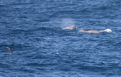 Southern Bottlenose Whales (hyperoodon planifrons) on the surface with juvenile Southern Giant Petrel flying in front (Paul Cottis) Tags: cetacean whale bottlenose southern beaked marine mammal paulcottis 24 january 2019 jan seabird petrel swim swimming dive surface blow