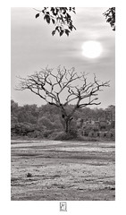 Syntactic tree (krishartsphotography) Tags: krishnansrinivasan krishnan srinivasan krish arts photography fineart fine art monochrome black white tree branches syntactic structure sun clouds sky bush fort affinity photo vellore tamilnadu india