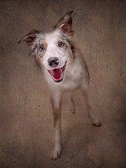 Star (Chris Willis 10) Tags: jump star studio dog pets animal canine purebreddog cute mammal puppy bordercollie friendship brown domesticanimals looking obedience