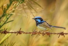 a  superb little fellow (Fat Burns ☮) Tags: superbfairywren maluruscyaneus smallbird bird australianbird fauna australianfauna wren fairywren bluewren nature nikond500 oxleycreekcommon brisbane queensland australia nikon20005000mmf56vr