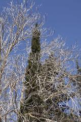 Tree within Tree-1 (zeevveez) Tags: זאבברקן zeevveez zeevbarkan canon cypress within dry