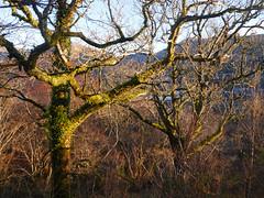 Oaks (Quercus sp.), Glasdrum National Nature Reserve (Niall Corbet) Tags: scotland argyll glasdrum nationalnaturereserve nnr oak quercus
