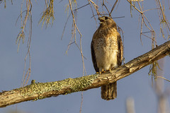 Red-shouldered Hawk (DFChurch) Tags: sixmilecypressslough fortmyers florida red shouldered hawk buteolineatus wild bird animal
