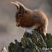 Red Squirrel-4461 (Judi.Mahon (Trying hard to catch up)) Tags: redsquirrel