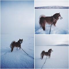 Frozen Lake Day Walk (pjen) Tags: shibainu shibaken nihonken hiro dog shiba koira primitive breed spitz japanese finland 日本犬 柴犬 urajiro 10years winter snow ice animal pet lake frozen freezing
