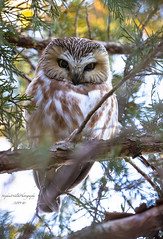 Northern Saw-whet Owl (stephenwalshphoto) Tags: