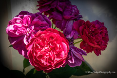 Roses are red my love (Peter.Stokes) Tags: colourphotography australia colour landscape melbourne outdoors photo summer victoria photography flower flora garden red
