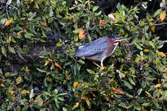 Green Heron, Santa Cruz, CA (HandsOff) Tags: greenheron santacruzcalifornia usa tamronmodela010 tamronaf28300mmvcpd butoridesvirescens
