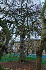 Alte Hänge-Buche (KaAuenwasser) Tags: hängebuche trauerbuche buche baum bäume alt botanischergarten garten park anlage stamm holz zaun ast äste
