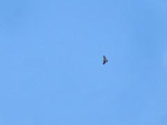 Red-shouldered Hawk (D. S. Hałas) Tags: halas hałas canada ontario haltonregion haltoncounty oakville memorialpark chordata sarcopterygii aves accipitriformes accipitridae buteolineatus redshoulderedhawk hawk buzzard bird
