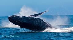IMG_8880 (b_bev) Tags: montereybay monterey bay california usa wildlife sealife whales dolphins pelicans seals birdlife nature ocean sea