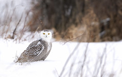 Snowy owl in snow (Jim Cumming) Tags: snowyowl nature wildlife winter snow avian canada beauty