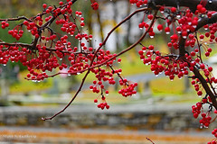 November - Rainy day in the center of town (Stan S. Gallery) Tags: autumn autumnal fall berries raindrops rain stonewall cemetery november grass canonrebel tree branches nature
