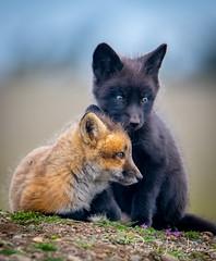 Friends (~ Bob ~) Tags: tamron fox nikon mammal baby wildlife nature kit feisol d500 washingtonstate den