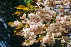Cherry Blossom (Charlie Jahn) Tags: cherryblossom flowers england plymouth sony sonya7 pentax smcpentaxa50mm17 kodak ektar filmlook