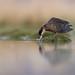 Silver Teal | silverand | Anas versicolor (Daniel.Pettersson) Tags: fåglar fågel birds bird aves argentina anasversicolor silverteal silverand