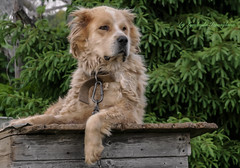 Guard dog (Lyutik966) Tags: dog animal alabaimuzzle wool paw eyes nose breed village farm nazimovo russia coth coth5 natureinfocusgroup