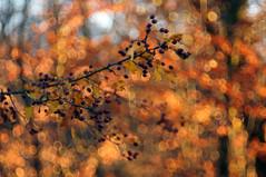 orange (Frau Koriander) Tags: hbw happybokehwednesday bokehwednesday bokeh dof depthoffield forest woods wald berry berries weisdorn nature natur baum strauch tree goldenlight goldenestunde goldenhour goldeneslicht light licht lighting nikond300s domiplan meyergörlitzdomiplan5028