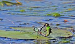 Dragonflies ♀♂ - Libellules ♀♂ (P9_DSCN9062-1PE-20180810) (Michel Sansfacon) Tags: nikoncoolpixp900 parcnationaldesîlesdeboucherville parcsquébec faune dragonfly libellule