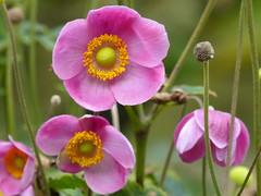 Pink Anemone (Marit Buelens) Tags: anemone japaneseanemone anemoon chineseanemoon anemonehupehensis flowers plant macro garden pink shockingpink green meeldraad flowersadminfave