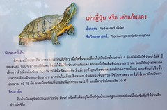 Trachemys scripta elegans (Wied-Neuwied, 1839) Emydidae-red-eared slider-เต่าญี่ปุ่น, เต่าแก้มแดง (SierraSunrise) Tags: animals aquarium esarn isaan nongkhai reptiles thailand turtles