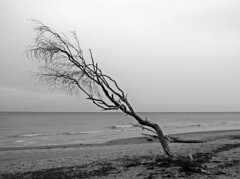 Weststrand Prerow / Darß (Wunderlich, Olga) Tags: ostsee baum landschaft sand meer windflüchter naturaufnahme mecklenburgvorpommern