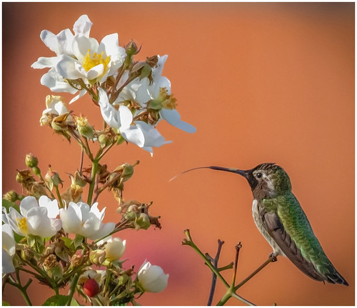 Hummingbird & White Flowers by Don Cochrane - Award Class B Prints  - November 2018
