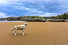 Max en la Entuerta-3 (Victor G. G.) Tags: max nikond7200 santander sigma1770 mar paseos perro dog golden retriever beach playa